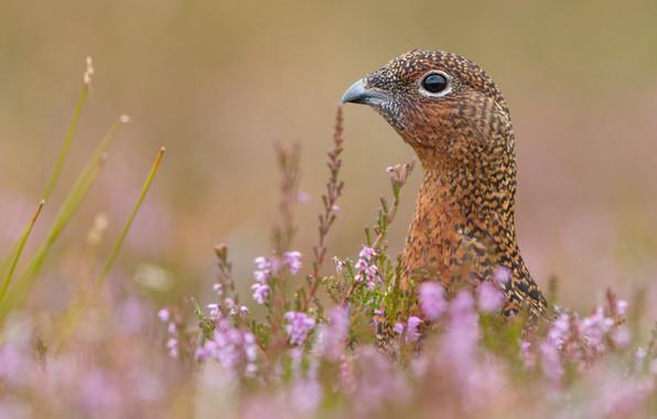 Picture field, grass, flowers, bird, partridge, Heather, nature .