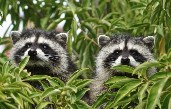 Picture leaves, branches, a couple, raccoons, faces, two raccoons