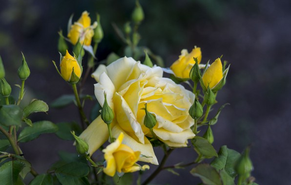 Picture rose, flowering, yellow