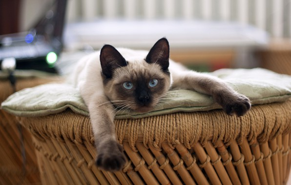 Picture resting, looking at the camera, Siamese cat