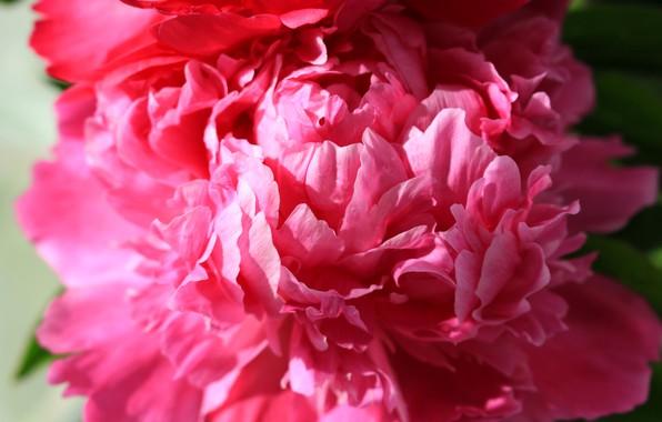 Picture flower, summer, macro, peony, macro flowers nature