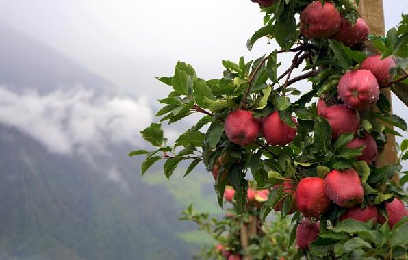 Picture summer, drops, nature, rain, apples