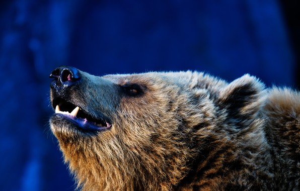 Picture face, background, bear, beast