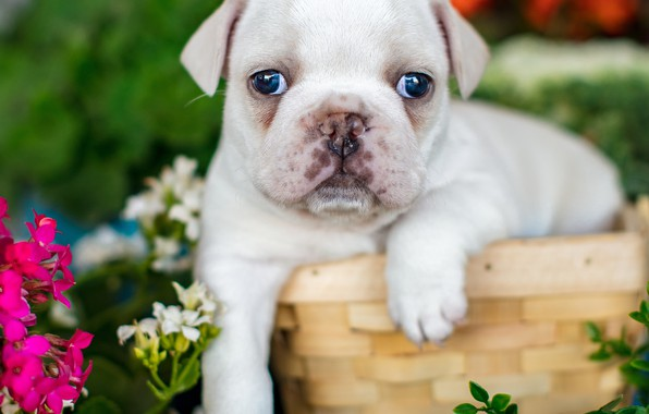 Picture look, flowers, basket, baby, puppy, face, French bulldog