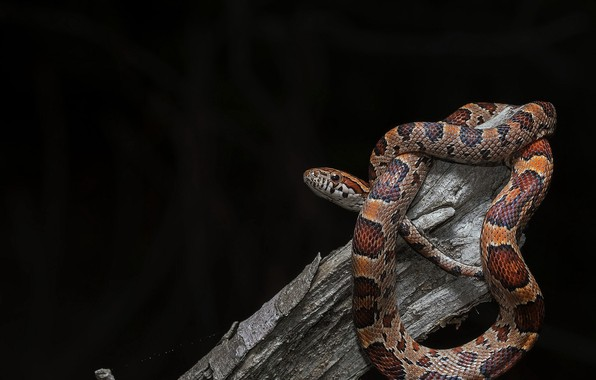 Picture background, snake, Pantherophis guttata, Baby Corn Snake