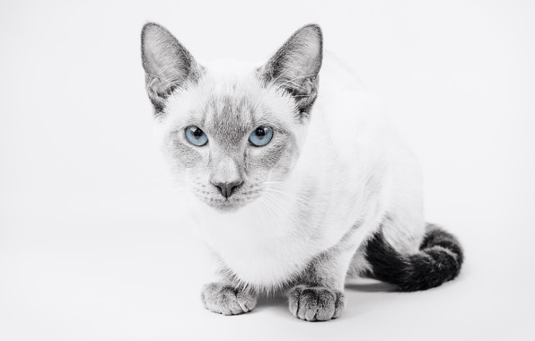 Picture cat, look, background, portrait, blue eyes, monochrome, The Thai cat