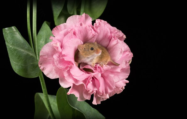 Picture flower, macro, mouse, rodent, the dark background, Harvest mouse, Mouse-Malutka