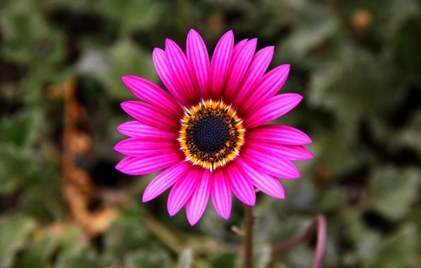 Picture nature, paint, petals, stem, Osteospermum