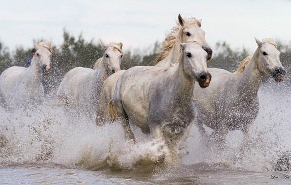 Picture squirt, movement, horses, horse, running, pond, gallop, the herd, jump