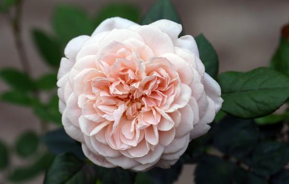 Picture flower, summer, Rose, flowering