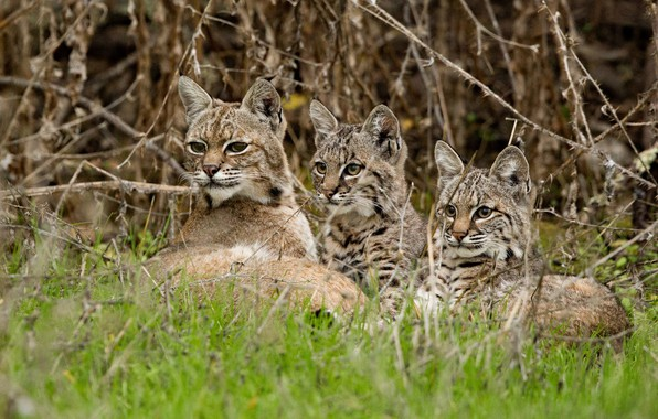 Picture grass, branches, kittens, lynx, wild cat, cubs