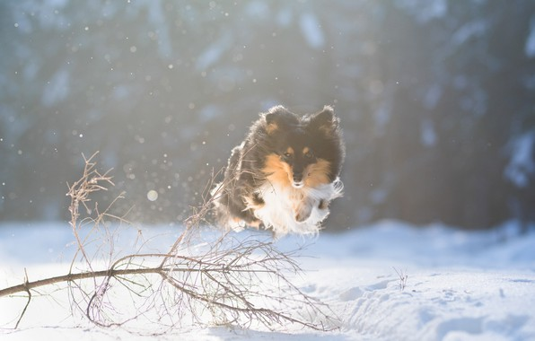 Picture winter, snow, jump, dog, flight, walk, Sheltie, Shetland Sheepdog