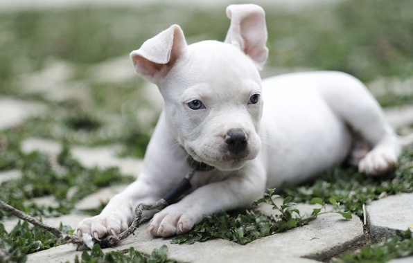 Picture dog, baby, puppy, American bully