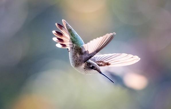 Picture flight, bird, Hummingbird
