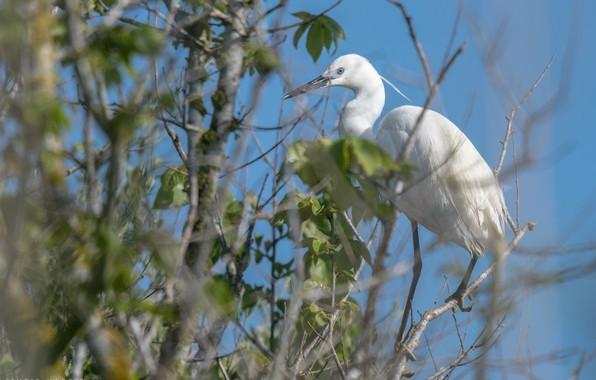 Picture white, bird, foliage, Heron, tail