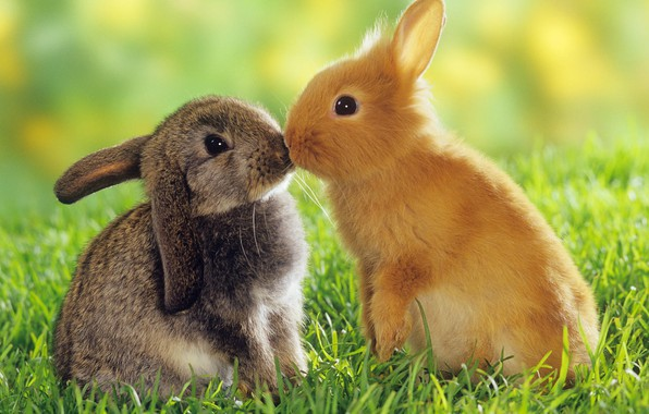 Picture animals, love, rabbits
