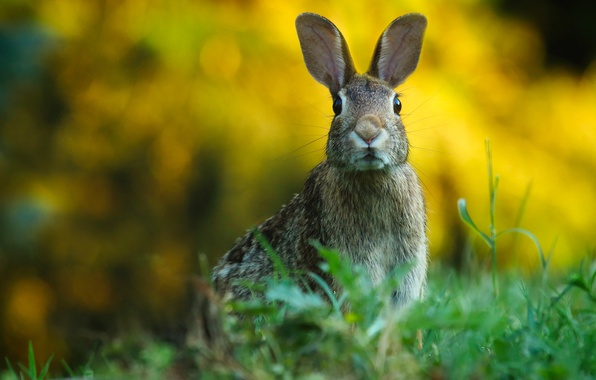 Picture greens, grass, look, background, hare, portrait, ears, face, Bunny, alert, wildlife, bokeh, rodent