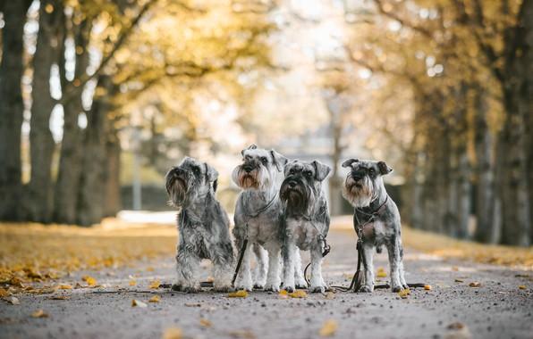Picture autumn, dogs, Quartet, Mittelschnauzer