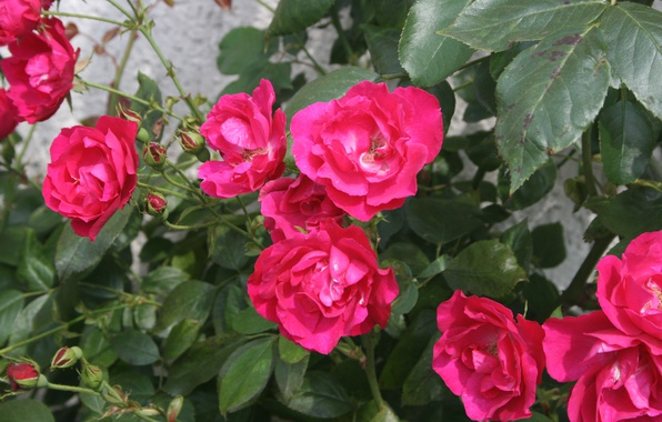 Picture Bush, Roses, Roses