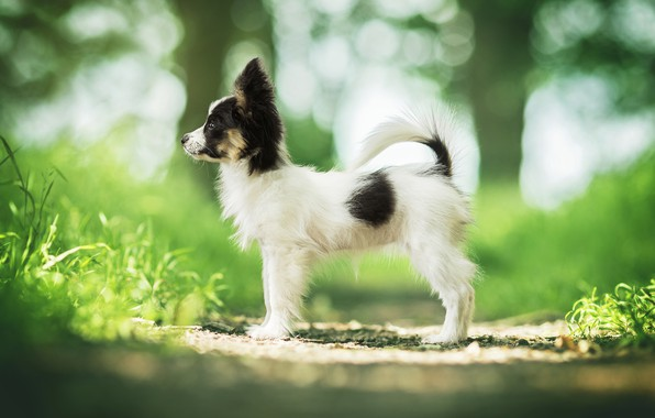 Picture dog, puppy, bokeh, doggie, Papillon, The continental toy Spaniel