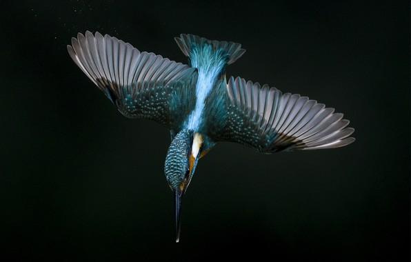 Picture flight, wings, Kingfisher, peak