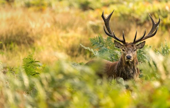 Picture London, horns, Richmond Park, red deer