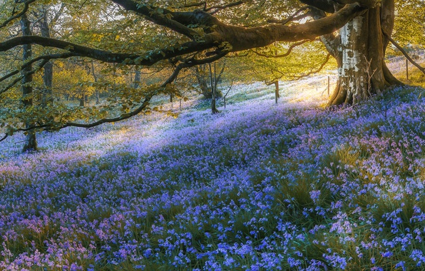 Picture forest, trees, flowers, Scotland, bells, Scotland, Bluebell Wood, Gartmore, Gartmore