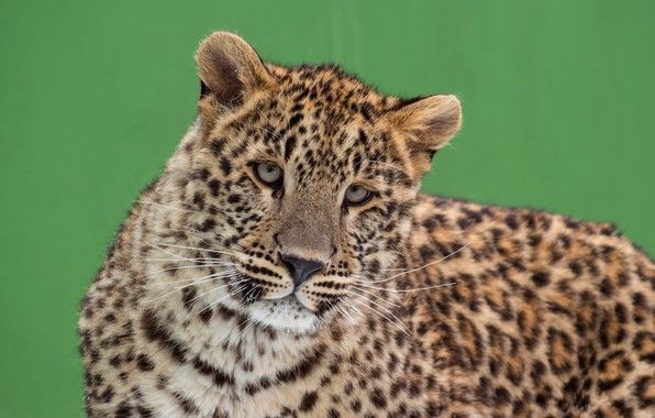 Picture cat, eyes, look, face, green, background, portrait, leopard, cute, wild, young, spotted