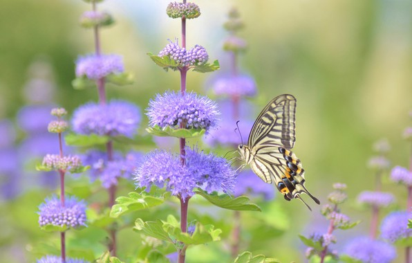 Picture macro, flowers, butterfly, Sailboat xut, Caryopteris