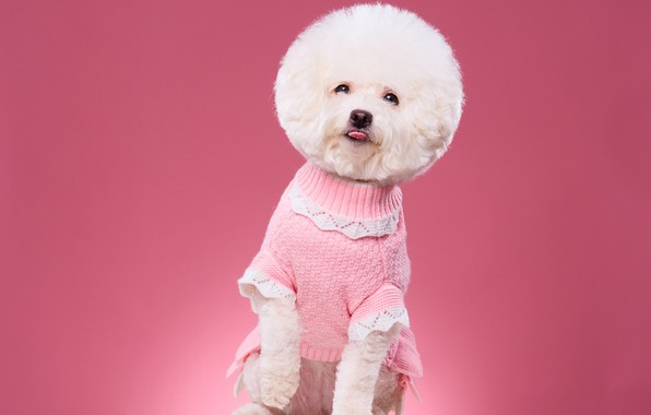 Picture background, haircut, portrait, dog, blouse, photoshoot, Bichon Frise