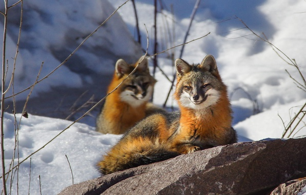Picture winter, snow, smile, stone, Fox, smiling Fox