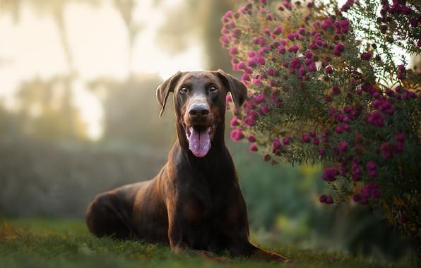 Picture language, look, flowers, dog, chrysanthemum