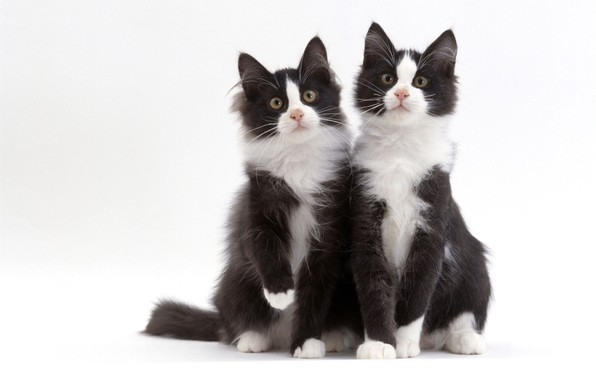 Picture black and white, cats, Duo