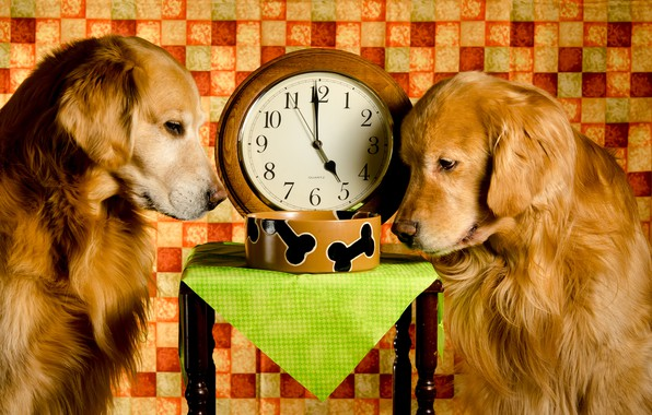Picture dogs, time, two, watch, the situation, bowl, red, Golden, lunch, Retriever, stool, Dinner Time