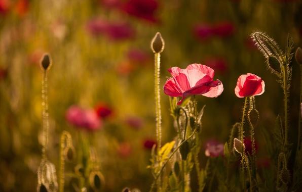Picture light, flowers, Maki, bokeh
