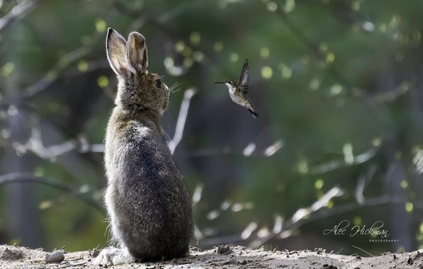 Picture bird, hare, Hummingbird, the conversation