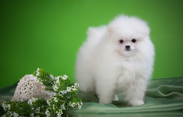 Picture white, flowers, puppy, breed, Spitz