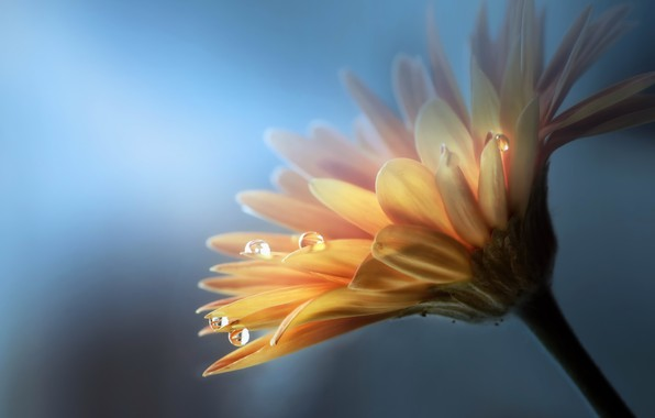 Picture flower, drops, nature, gerbera