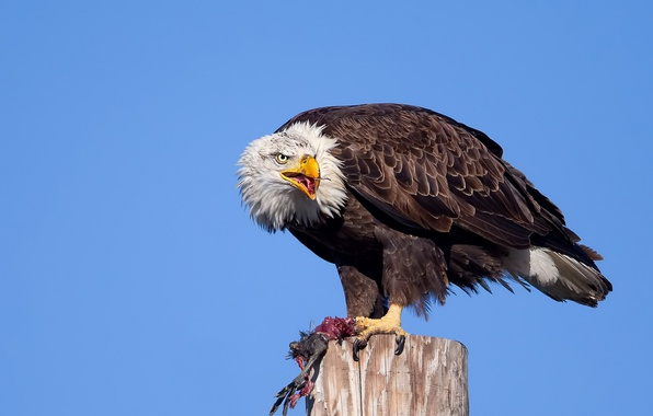 Picture nature, bird, eagle