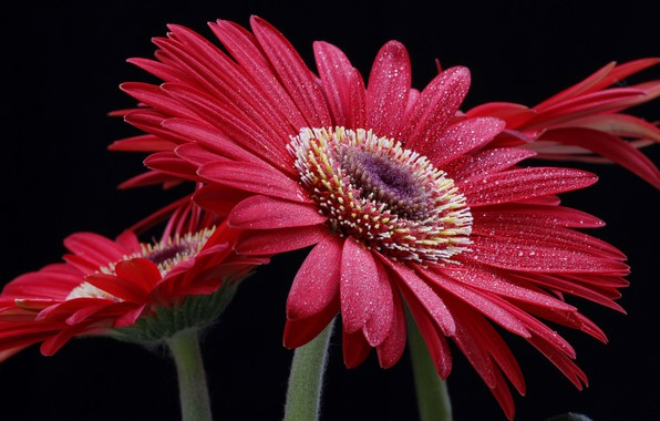 Picture flower, drops, macro, red, gerbera