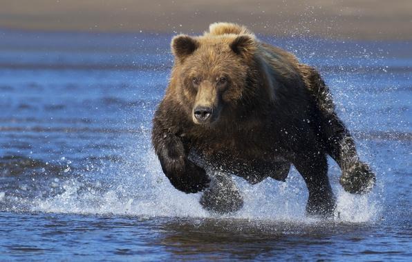 Picture water, squirt, bear, running, the Bruins, running bear