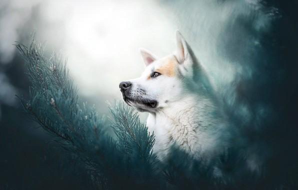 Picture face, branches, portrait, dog, bokeh, Husky