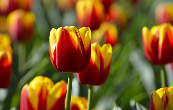 Picture tulips, buds, motley