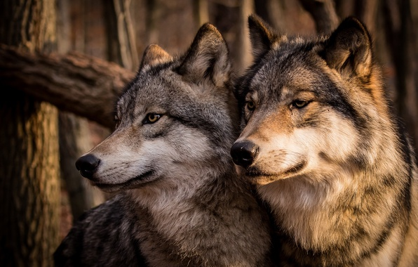Picture family, pair, Wolves