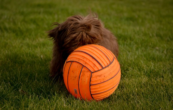 Picture dog, the ball, lawn