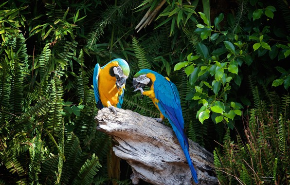 Photo wallpaper trees, nature, stump, pair, parrots, ary