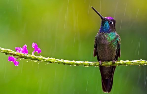 Picture flowers, background, bird, branch, Hummingbird