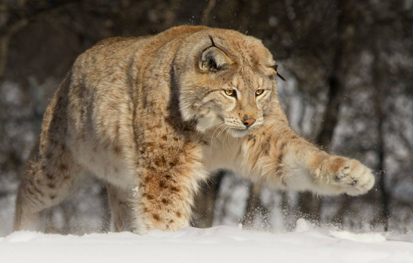 Picture snow, paw, large, lynx, wild cat