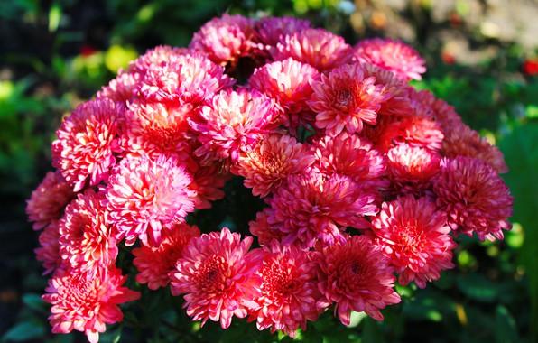 Picture greens, light, flowers, nature, background, pink, Wallpaper, shadow, plants, chrysanthemum, deep