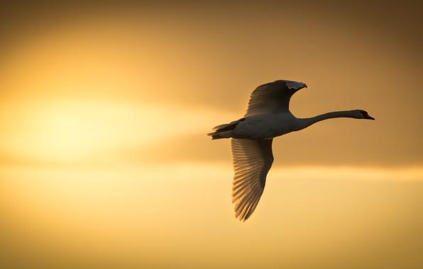 Picture the sun, sunset, bird, wings, Swan, flight